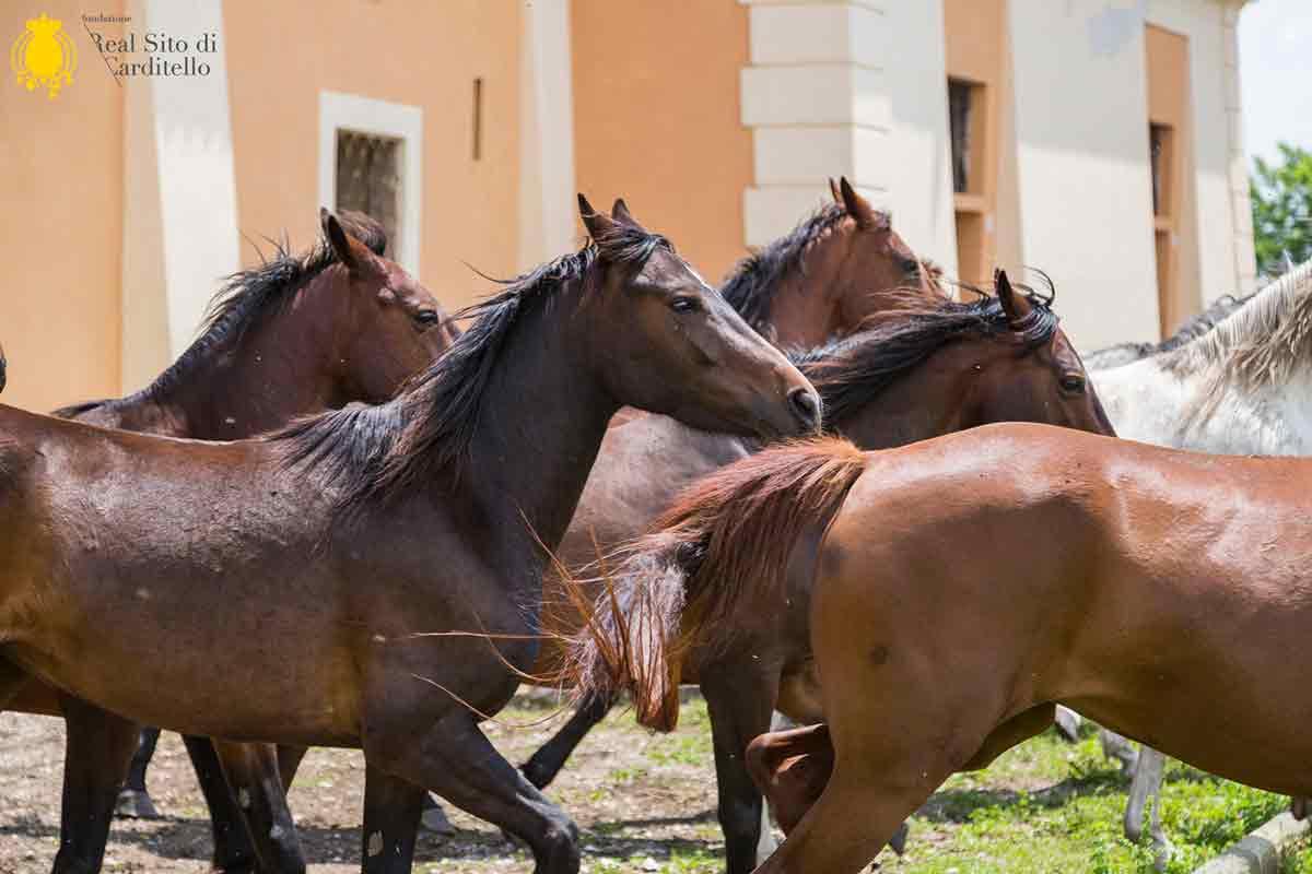 informareonline-carditello-cavalli