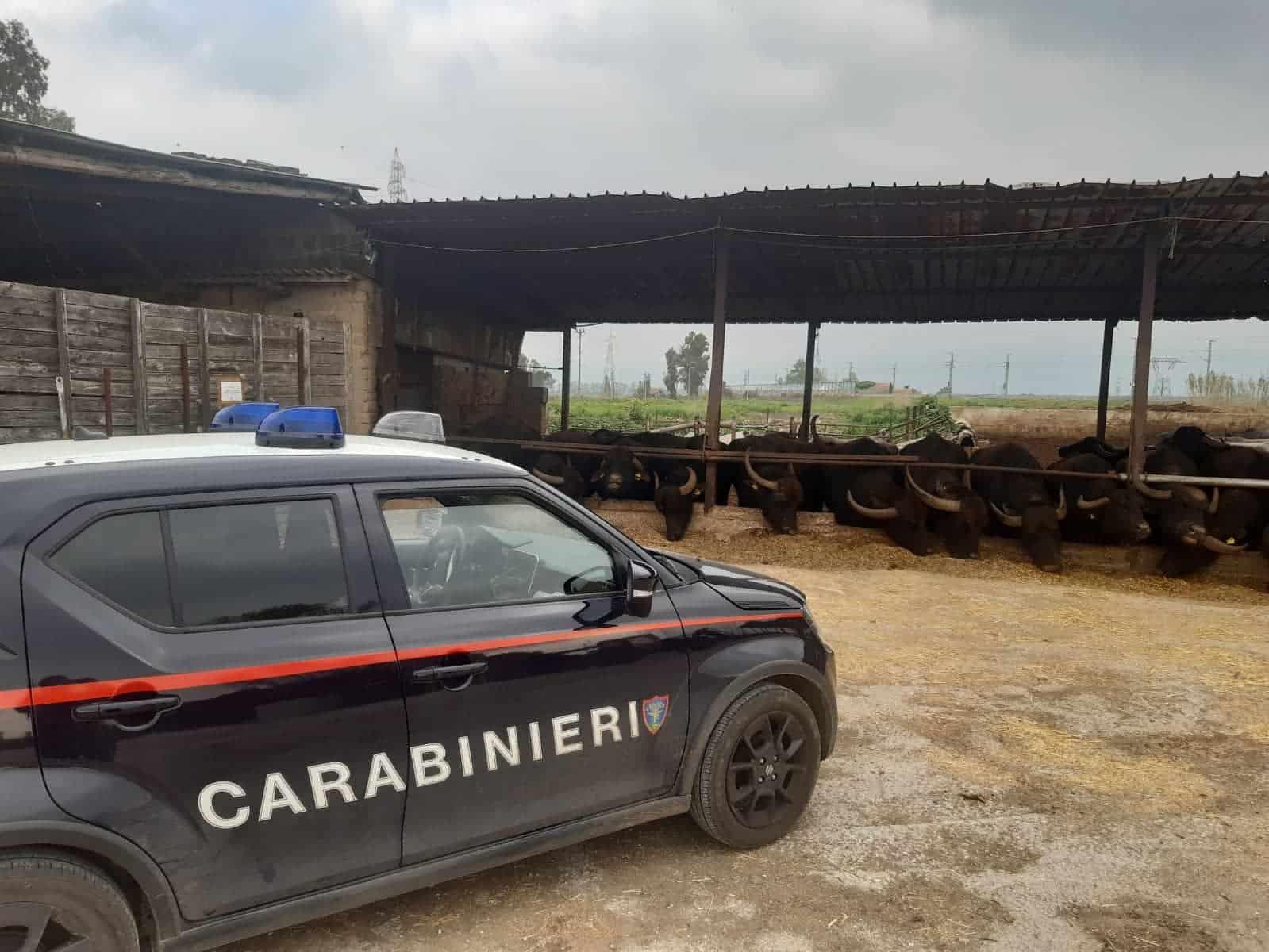 informare-Carabinieri-forestale-sequestrato-compleso-aziendale-bufalino