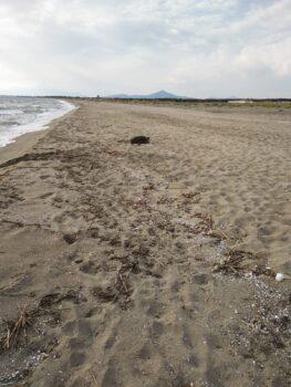 informareonline-il-ritrovamento-della-tartaruga-caretta-caretta-sulla-costa-domiziana