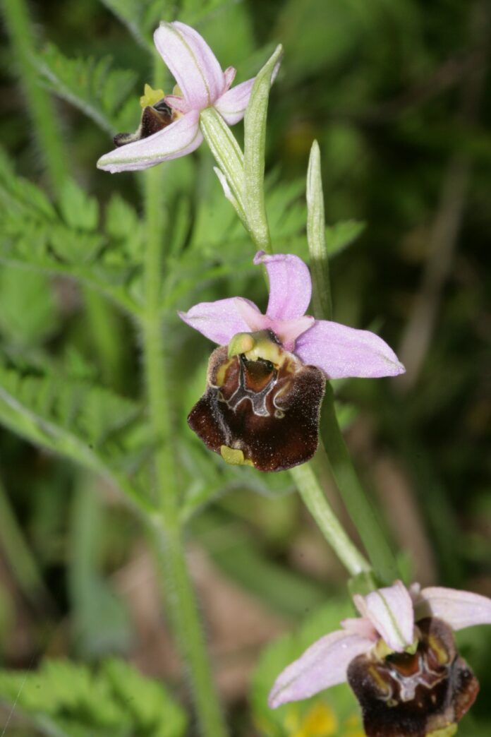 informareonline-le-orchidee-selvatiche-dei-monti-tifatini-un-simbolo-da-salvaguardare