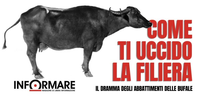 Informareonline-copertina-abbattimenti-bufale-fiorentino-la-regione-non-segue-leuropa