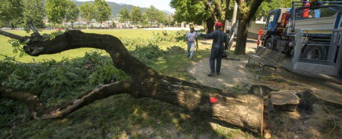 Informareonline-caserta-abbattimento-alberi-e-verde-pubblico-il-wwf-scrive-allamministrazione